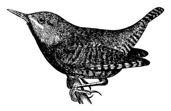 Winter Wren, vintage illustration.