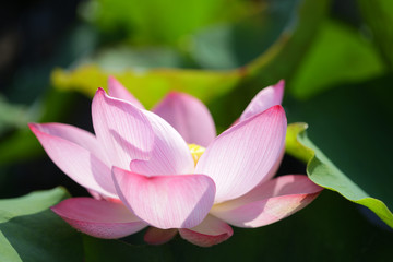 Garden Poster Lotus flower Pink lotus flower under sunlight