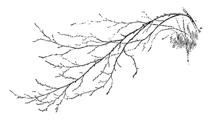 Birch Branch vintage illustration.