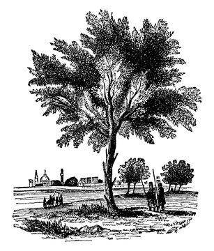 Almond Tree vintage illustration.