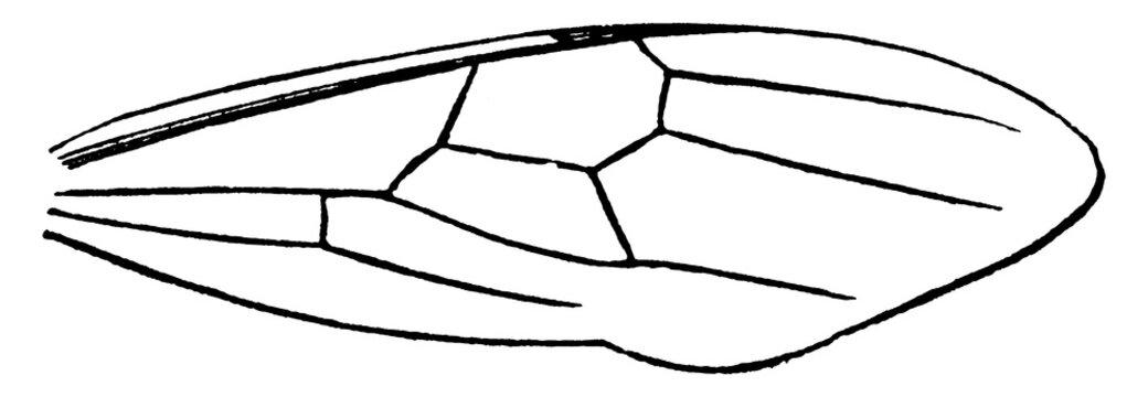 Crematogaster Ant, vintage illustration.