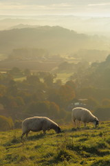 Wall Mural - Flosk of sheep graze on the hill in Marshwood Vale, Dorset