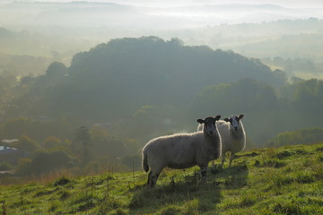 Wall Mural - Flosk of sheep graze on the hill in Marshwood Vale, Dorset