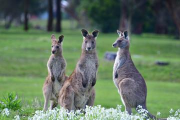 A trio of eastern grey kangaroos on a golf course in Wonthaggi, Victoria, Australia