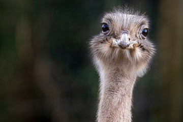 Foto op Aluminium Struisvogel portrait of an ostrich