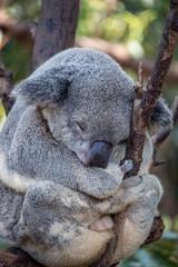 Canvas Prints Koala bear sleeping in a gum tree