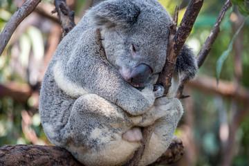 Canvas Prints Koala sleeping in a tree