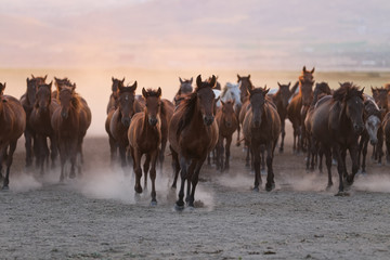 Photo sur Aluminium Marron chocolat Yilki Horses Running in Field, Kayseri, Turkey