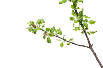 Young apple tree isolated on white background.