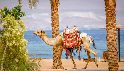 A saddled camel on Egypt's Red Sea beach.