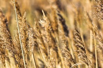 Fototapeta Golden Grasses