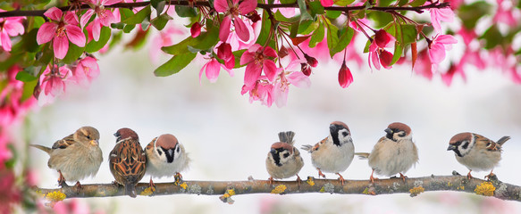 Wall Mural - cute little birds sparrows sit on a flowering pink branch of an Apple tree in a may garden on a Sunny day