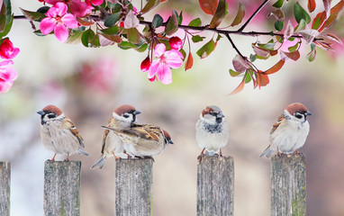 Wall Mural - cute little birds sparrows sitting on wooden fence under blooming pink Apple tree branch in may garden on Sunny day