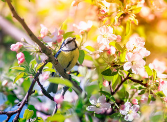 Wall Mural - cute beautiful bird tit azure sits in a blooming pink Apple tree branch in the may garden on a Sunny day