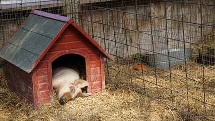 Cute pig sleeping in a red wooden house on a bed of hay