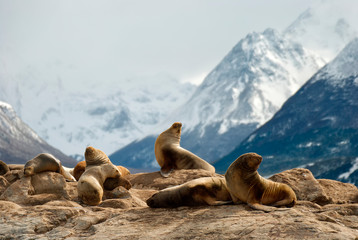 Sea lions on a rock in patagonia Wall mural