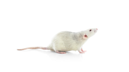 Cute rat on white background. Small rodent