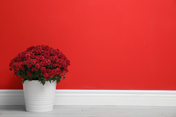 Pot with beautiful chrysanthemum flowers on floor against red wall. Space for text