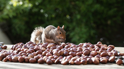 Wall Mural - squirrel and nuts