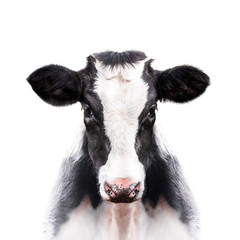 calf portrait isolated on white background