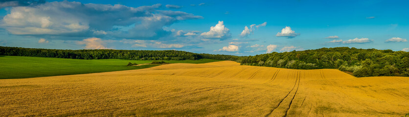 beautiful landscape panoramic view of wheat field, ears and yellow and green hills