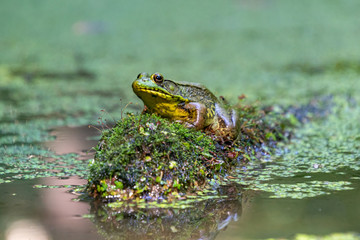 Green frog sitting on a log in a pond