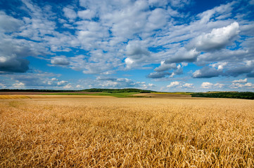 Wall Mural - great field of wheat under beautiful blue cloudy sky