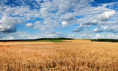 Wall Mural - field of wheat under beautiful blue cloudy sky