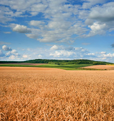 Fototapete - field of wheat under beautiful blue cloudy sky