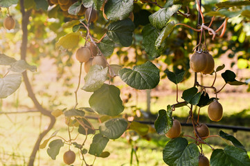 Kiwi on a kiwi tree plantation with with huge clusters of fruits. Garden with trees and organic fruits. Solar light and leaf movement.