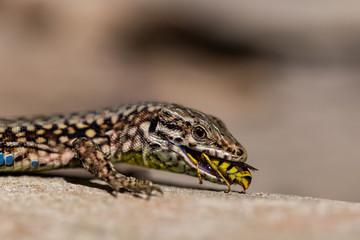 Podarcis muralis (common wall lizard) eating a wasp Wall mural