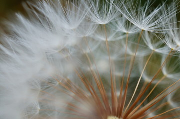 closeup of dandelion on a background