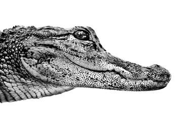 Foto auf AluDibond Crocodile baby crocodile