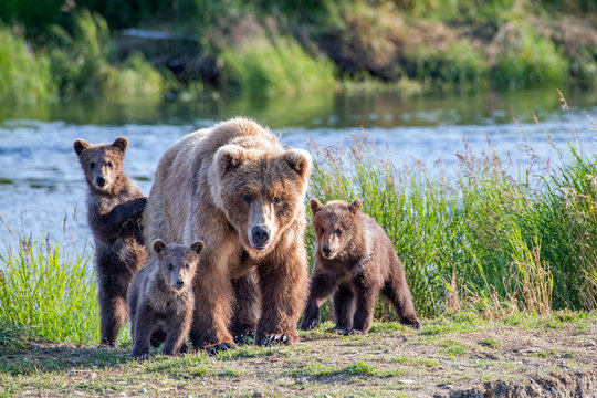 Wild brown bear family looking right at you with mom and three cubs.