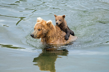 Wild brown bear carrying a young cub on her back as she swims across a river.