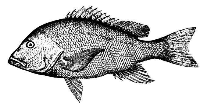 Red Snapper, vintage illustration.