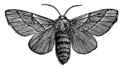 Female Moth, vintage illustration.