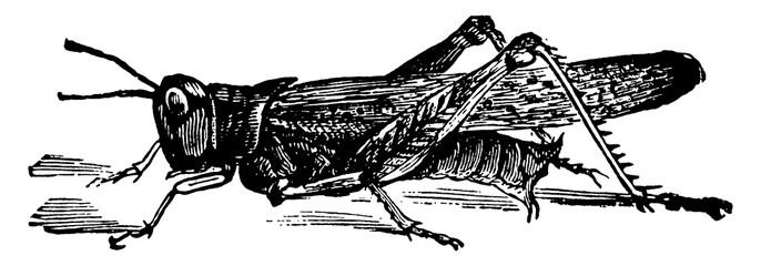 Rocky Mountain Grasshopper, vintage illustration.