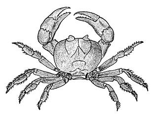 Land Crab, vintage illustration.