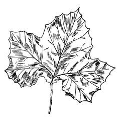 Sycamore Leaf vintage illustration.