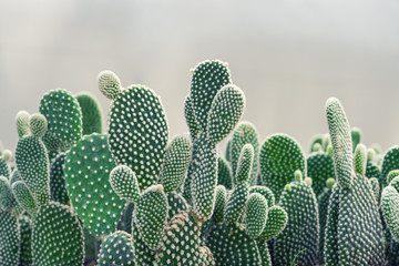 Close-up of Opuntia Cactus plant in the farm with copy space.