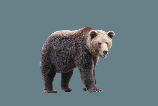 European brown bear in motion.
