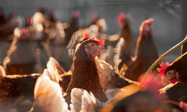 Poulets fermiers élevés en plein air