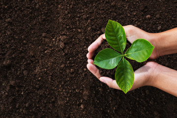 Wall Mural - hand holding young plant on soil background. eco concept