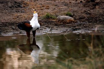 African Fish Eagle (Haliaeetus vocifer) Squeaking by Waterhole. Satara, Kruger Park, South Africa