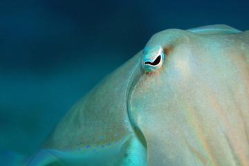 Broadclub Cuttlefish (Sepia latimanus). Padang Bai, Bali, Indonesia