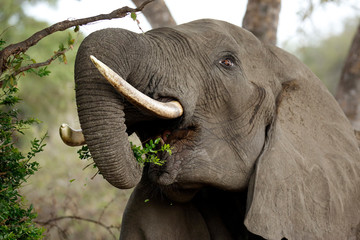 Close-up of an African Elephant (Loxodonta africana) Feeding from a Tree. Timbavati, Kruger Park, South Africa
