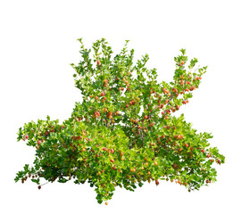 Gooseberry (Ribes uva-crispa) shrub with red berries, isolated on a white background