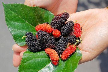 mulberry fruit on woman hands