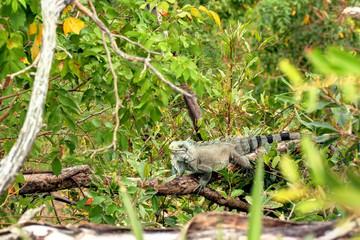 Iguane aux Saintes îles de Guadeloupe Caraïbes Française